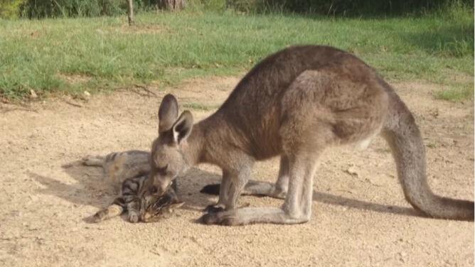 Kangur postanowił zaopiekować się kotem. Zobacz jak bliskie łączą ich relacje