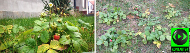 Listopadowy fenomen: świeżutkie poziomki prosto z ogródka