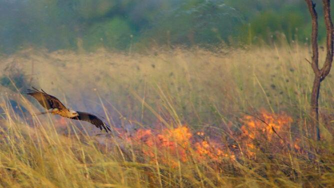 Ptasi podpalacze? Te zwierzęta <br />mogą rozprzestrzeniać ogień